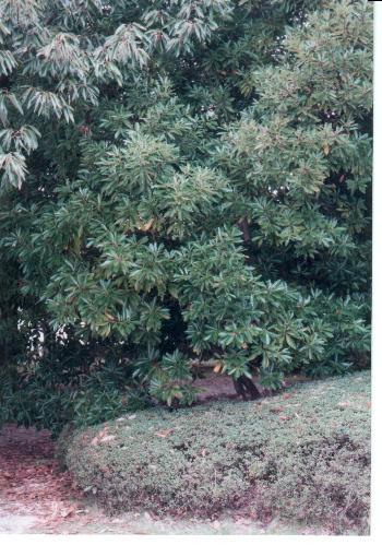 マテバシイの画像 p1_18